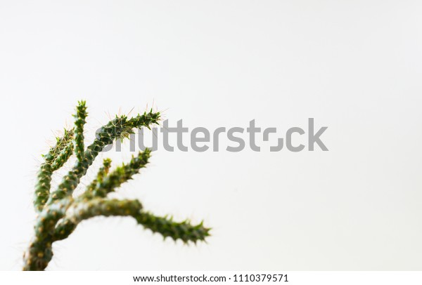Thorns and cactus branches on a white background with space