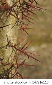 Thorns of Honey locust - Gleditsia triacanthos