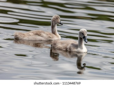 Thornton Reservoir, Leicestershire, England June 15 2018: Mute Swan Cygnets gaining confidence on the water under supervision from mother.