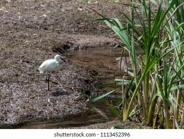 Thornton Reservoir, Leicestershire, England, June 15 2018: Little Egret on the dry drought reservoir bed of Thornton Reservoir, Leicestershire.