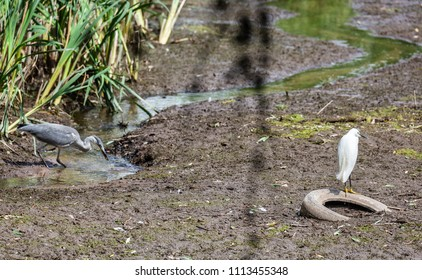 Thornton Reservoir, Leicestershire, England, June 15 2018: Grey Heron and Little Egret together fishing in dried reservoir bed in drought conditions within a background of reed beds.