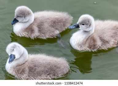 Thornton Reservoir, Leicestershire, England May 29 2018: Cute fluffy Mute Swan cygnets swimming along together for the first time with their parents keeping a watching eye near by.