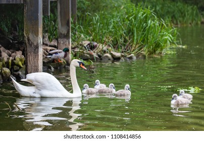 Thornton Reservoir, Leicestershire, England May 29 2018: Male and female Mute Swan with cygnets swimming along together for the first time .