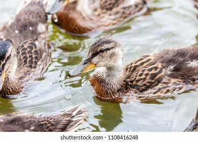 Thornton Reservoir, Leicestershire, England May 29 2018: Mallard chicks with body half covered in feathers and half fluffy down taking a swim with parents watching on near by.