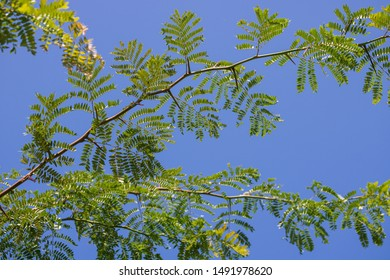 Thorny branches of honey locust tree against a blue sky