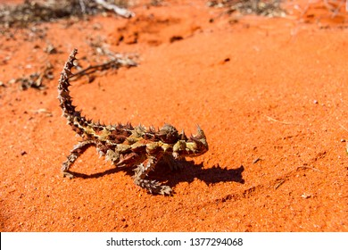 Thorny Devil, Horny Devil, is a reptile that lives in the Australian outback. The thorny devil is an Australian lizard, also known as the mountain devil, thorny lizard, thorny dragon, or moloch