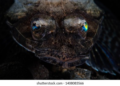 A Thorny flathead, Rogadius pristiger, lies in wait for prey on a black sand seafloor in Komodo National Park, Indonesia. This tropical area is known for its high marine biodiversity.