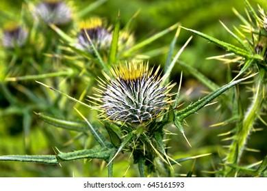 Thorny Flower