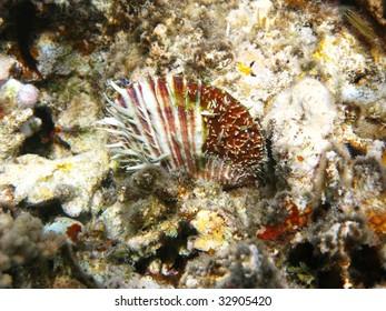 Thorny scallop
