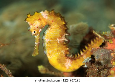 Thorny Seahorse, Hippocampus histrix in yellow colouration, Raja Ampat, Indonesia