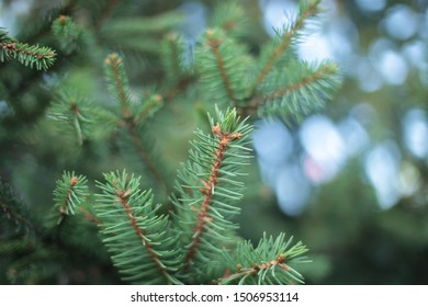 Thorny spruce tree branches, small green spines