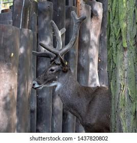 Thorold's deer (cervus albirostris) at deer-park.