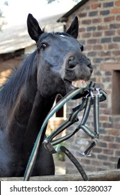 thorough bred Horse playing with Halter