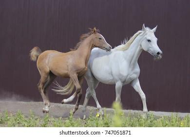 Thoroughbred Arabian horse, foal