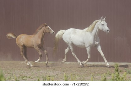 Thoroughbred Arabian mare from Poland with a foal