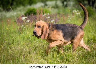 Thoroughbred Bloodhound dog has fun outdoors at summer day