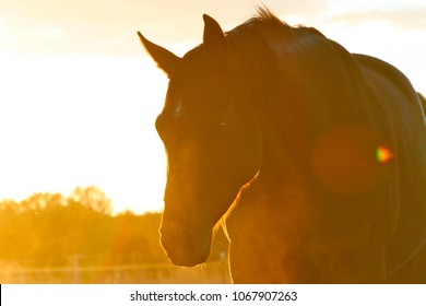 Thoroughbred broodmare silhouette at sunset