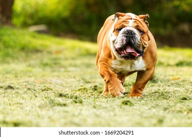 thoroughbred english bulldog relocation to the camera ragged facial close-up run bulldog courage pet fast rapid nose toward fat hilarious camera head running funny training powerful large strong male