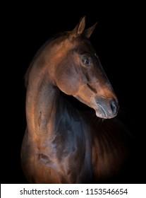 thoroughbred horse portrait on black background