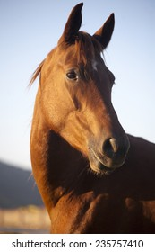 Thoroughbred horse portrait when the sun goes down