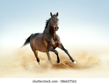 thoroughbred horse runs free in the dust