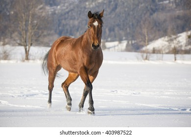 thoroughbred horse in the snow