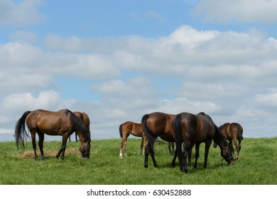 Thoroughbred horses in a bluegrass field.