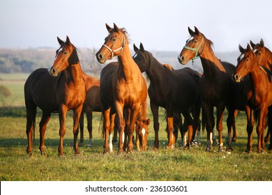 Thoroughbred Horses Grazing in a Green Field in Rural Pastureland