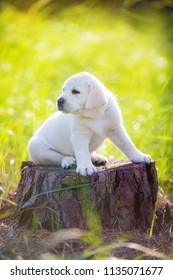 thoroughbred puppy sits on a stump in the forest and looks into the distance