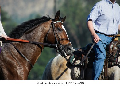 Thoroughbred racehorse being led to the start of the race by a pony horse and rider