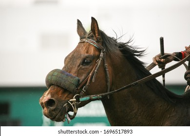 Thoroughbred Racehorse Portrait At Track
