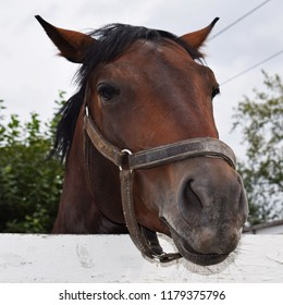 A thoroughbred racehorse walks in the cage. Krasnoyarsk city Racecourse. Funny horse face close-up.  Equestrian sport.