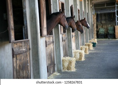 Thoroughbred in racetrack stall