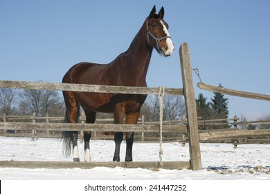 Thoroughbred saddle horse looking over the corral fence rural scene as a background