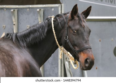 Thoroughbred sport horse standing next to an animal trailer