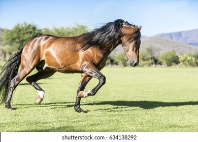 Thoroughbred wild horse, running free in the field