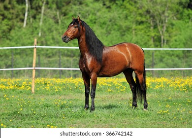Thoroughbred young horse posing against spring fields