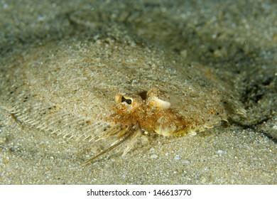 Thor's scaldfish (Arnoglossus thori) in Sesimbra, Portugal