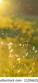Those not caught, dandelion seeds entangled in the web, and midges dancing above it.