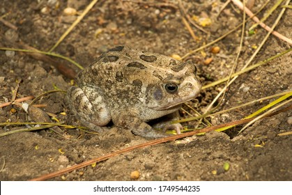 Though the Sombre Toad is relatively common it's range is restricted to the Rift Valley in Western Uganda. It is similar to the Gutteral Toad but smaller
