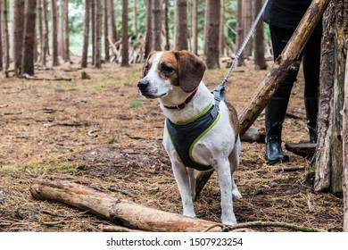 A thoughtful Beagle with a leash on a walk in a woodland park. Portrait of a nice beagle