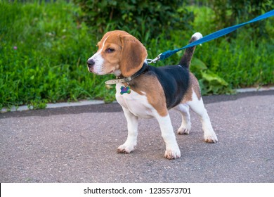 A thoughtful Beagle puppy with a blue leash on a walk in a city park. Portrait of a nice puppy.Eastern Europe.