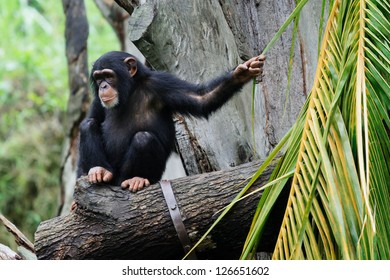 Thoughtful chimpanzee sitting on the log and playing with palm leaves.