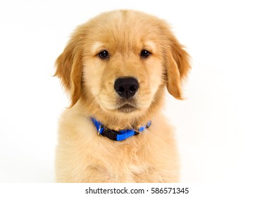 Cute Golden Retriever Puppy Baseball Stock Photo Edit Now 79692271
