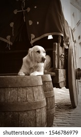 Thoughtful Golden Retriever lying on old barrels and cart in Riga old town. Medieval style. Vintage style.