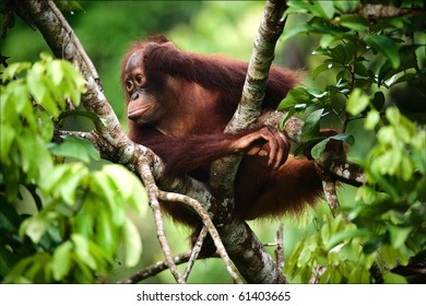 The thoughtful kid. The cub of the orangutan sits on a branch of a tree and in meditations has propped up a head a hand.