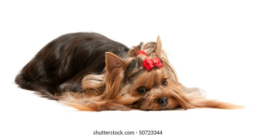 A thoughtful lying yorkshire terrier; isolated on the white background