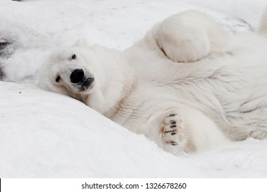 thoughtfully lying and looking at her paws. Powerful predator polar bear lies in the snow, close-up