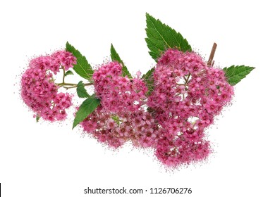 A thousand small pink flowers bloom on a branch of a decorative Spirea bush. Isolated on white studio macro shot