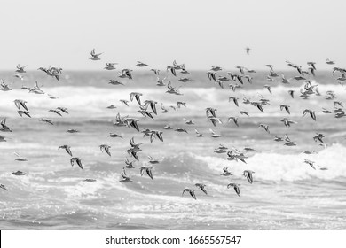 Thousands of birds flying at high speed in front of the sea at the Chilean coastline. An amazing flock of birds making a wild life pattern cut out over the water and the beach making an idyllic scene